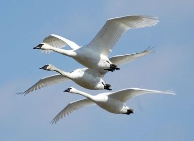 migratorybird