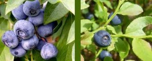 bilberry blueberry
